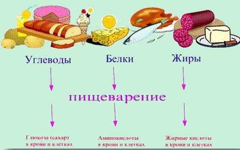 Роль белков, жиров и углеводов
